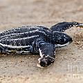 Leatherback Sea Turtle Hatchling Amelia Island Florida by Dawna Moore Photography