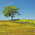 Lone Tree With Blue Sky In Blueberry Field Maine by Keith Webber Jr