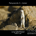 Long-tailed Weasel by Dennis Hammer