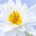 Lotus Flower by Elena Elisseeva