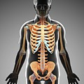 Male Skeletal System by Pixologicstudio/science Photo Library