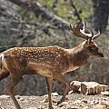 Mesopotamian Fallow Deer  by Eyal Bartov