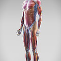 Muscle System by Science Picture Co