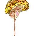 Normal Human Brain, Mri Scan by Du Cane Medical Imaging Ltd