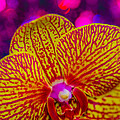Orchid by Gerald Kloss