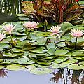 6 Pink Waterlilies by Jill Bell