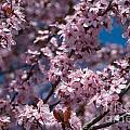 Plum Tree Flowers by Mark Dodd