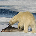 Polar Bear With Fresh Kill by John Shaw
