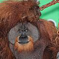 Portrait Of A Large Male Orangutan by Paul Fell