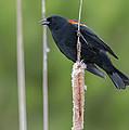 Red-winged Blackbird by John Shaw