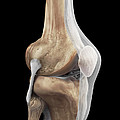 Right Knee Ligaments by Science Picture Co