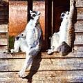 Ring Tailed Lemurs by George Atsametakis