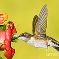 Ruby-throated Hummingbird Female by Millard H. Sharp
