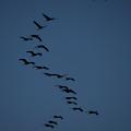 Sandhill Migration by Jeffrey Phelps