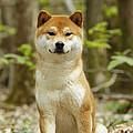 Shiba Inu Dog by Jean-Michel Labat