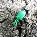 6 Spotted Tiger Beetle by Joshua Bales