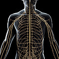 The Nerves Of The Upper Body by Science Picture Co
