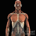 The Psoas Muscles by Science Picture Co
