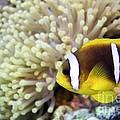 Twoband Anemonefish by Dimitris Neroulias