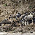 Wildebeests Crossing Mara River, Kenya by John Shaw