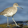 Willet by John Shaw
