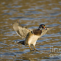 Wood Duck by John Shaw