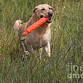 Yellow Labrador by Linda Freshwaters Arndt