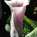 Zantedeschia Named Picasso by J McCombie