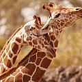 6600 Two Giraffes Necking by Chris Maher