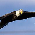 Bald Eagle by Ursula Lawrence