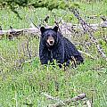 Black Bear by Elijah Weber