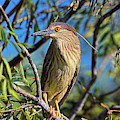 Black-crowned Night Heron (nycticorax by Martin Zwick