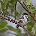 Blackpoll Warbler by Doug Lloyd