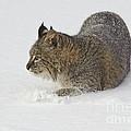 Bobcat by John Shaw