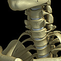 Bones Of The Neck by Science Picture Co