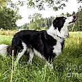 Border Collie In The Nature by Regina Koch