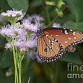 Butterfly by Randy Mass