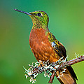Chestnut-breasted Coronet by Anthony Mercieca