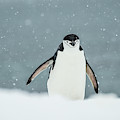 Chinstrap Penguin  Pygoscelis by Deb Garside