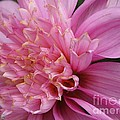 Dahlia Named Siemen Doorenbosch by J McCombie
