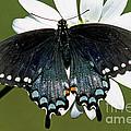 Eastern Black Swallowtail by Millard H. Sharp