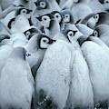 Emperor Penguin Aptenodytes Forsteri by Fritz Polking - Vwpics