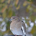 Female White Wing Dove by Ruth  Housley