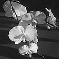 7 Flower Orchid by Melissa Aldana