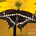 Giant Swallowtail Butterfly by Millard H. Sharp