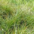 Grasses by Les Cunliffe