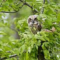 Great Horned Owlet by Michael Cummings