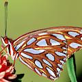 Gulf Fritillary Butterfly by Millard H Sharp