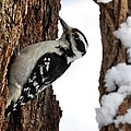 Hairy Woodpecker by Jack R Brock