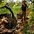 Harvesting In A Vineyard by Indian Summer